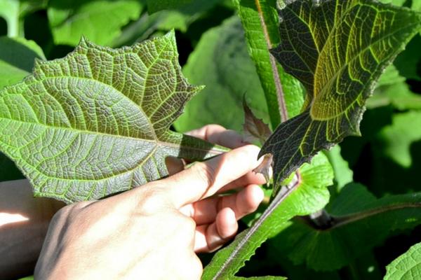 Yakon (Smallanthussonchifolius) – Ekstrak Daun Ajaib